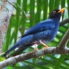 Sabiá-una (Turdus flavipes)