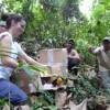 Soltura de tucano-do-bico-verde (Ramphastos dicolorus
